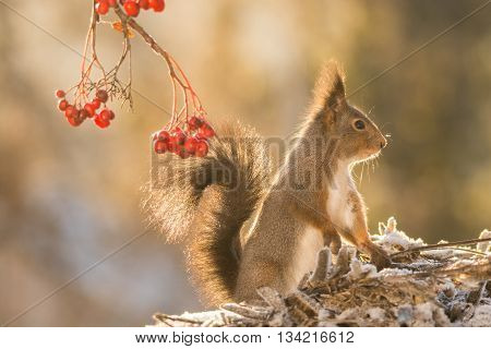 red squirrel standing on plants with snow