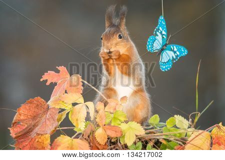 red squirrel standing with leaves an butterfly on a wire