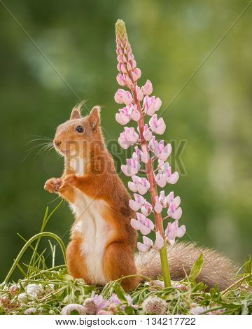 female red squirrel standing with lupine and moss