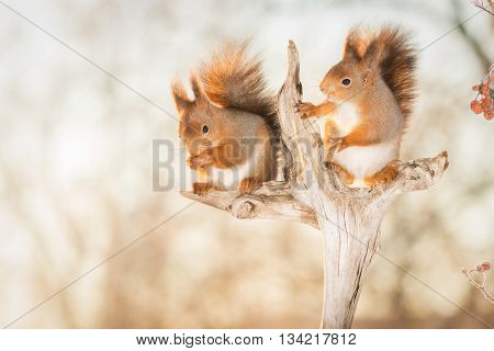 red squirrels standing on tree trunk in sun light with frozen berries