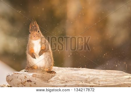 red squirrel on ice while drops falling of melting ice