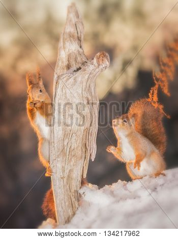 red squirrels standing on snow and tree trunk