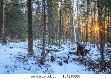 forest with snow and fallen trees with sun flares