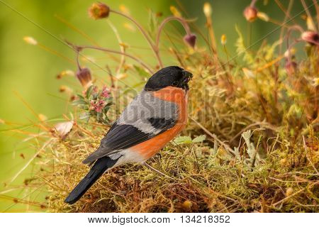 male bullfinch standing on moss between flowers
