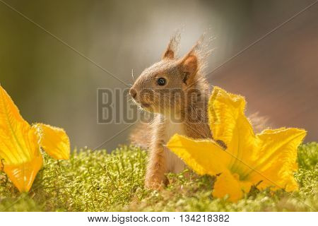 red squirrel between yellow flowers on moss