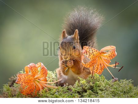 red squirrel standing with flowers on moss