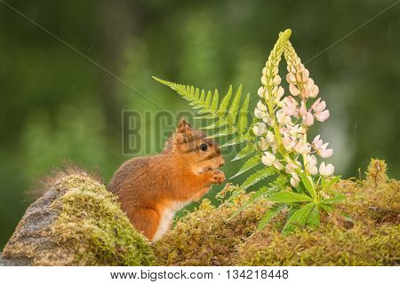 female red squirrel standing with flowers in rain