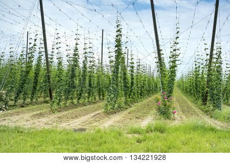 Hops Field in France. Organic Plantation of Hops