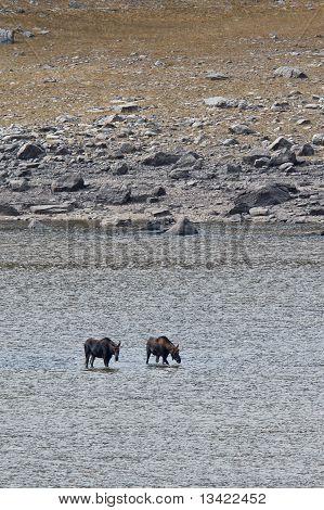 Two mooses alces alces in Medicine Lake Jasper National Park Alberta Canada poster