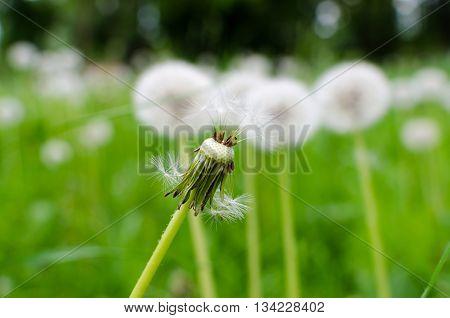 Close-up Photo Of A Ripe Dandelion