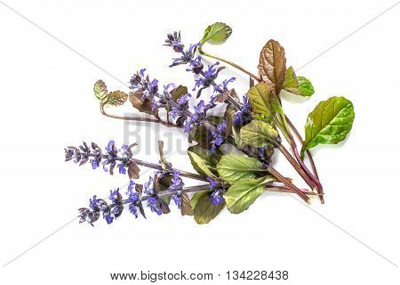 Medicinal plant Ajuga reptans on white background. Ajuga reptans - edible plant nectariferous and is used in horticulture