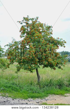 bunches of Rowan tree on the summer