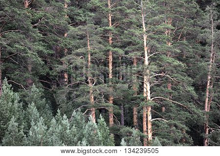 the background of pines on the summer time