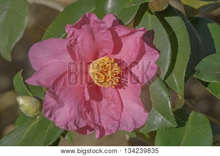Winter's Fire hybrid camellia (Camellia x hybrid Winter's Fire). A hybrid of Camellia vernalis Takarazuka and Camellia oleifera Frost Prince). Image of single flower