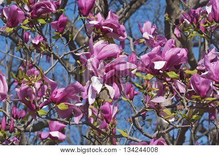 Galaxy hybrid magnolia flowers (Magnolia x hybrid Galaxy). Hybrid between Magnolia liliflora Nigra and Magnolia sprengeri Diva poster