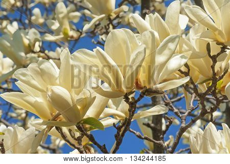 Ivory Chalice magnolia flowers (Magnolia x hybrid Ivory Chalice). Hybrid between Magnolia acuminata and Magnolia denudata poster