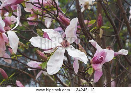 Daybreak magnolia flowers (Magnolia x hybrid Daybreak). Hybrid between Magnolia x brooklynensis Woodsman and Magnolia x hybrid Tina Durio