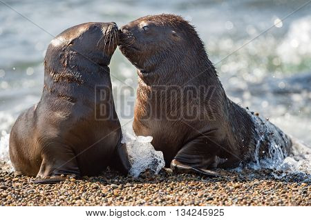 Baby Newborn Sea Lion On The Beach While Kissing