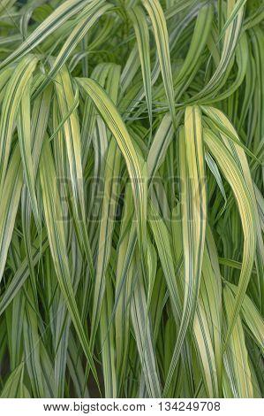 Variegated Japanese forest grass (Hakonechloa macra Aureola)