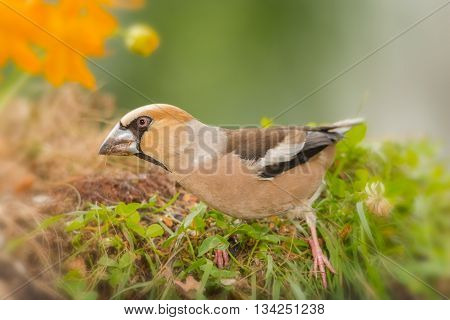 hawfinch between grass and flowers  in sun light