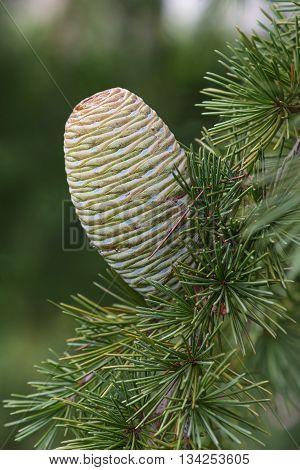 Deodar cedar (Cedrus deodara). Called Himalayan cedar also. Lateral image of cone