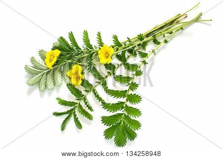 Medicinal plant Silverweed (Potentilla anserine or Argentina anserina) on a white background. Used in herbal medicine bee plant