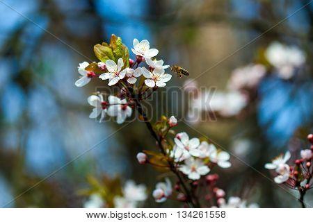 Flowers Of Cherry Blossom