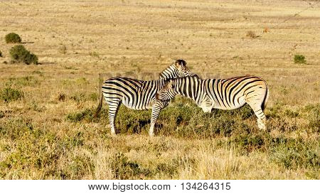 Love - Burchell's Zebra