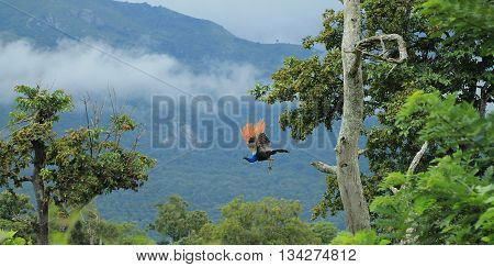 Flying peacock. Indian Peacock taking flight off trunk of a tree with cloudy mountains background taken at Masinagudi