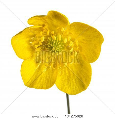 Yellow Buttercup Flower close up on white background.