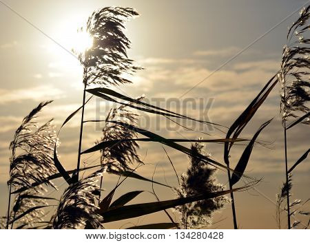 Silhouette of reeds when the Sun is going down.