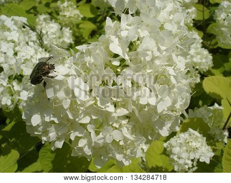 European cranberrybush 'Roseum' white flowers with green chafer beetle.