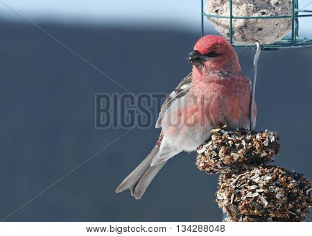 stock close-up image of beautiful red pine grosbeak on feeder
