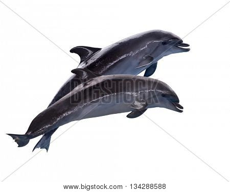 grey dolphins isolated on white background