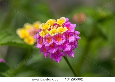 Summer flowers series beautiful Lantana camara. Geogria.