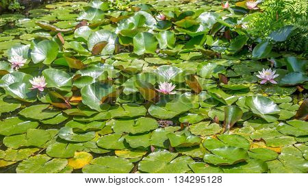 Pink water lilies on a pond in botanical garden.