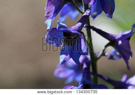 A flower of an alpine delphinium (Delphinium elatum).
