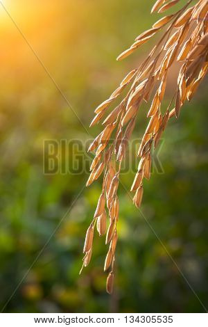 Rice Spike
