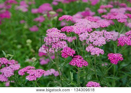 Field full of pink milfoil flowers in summer