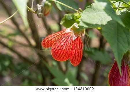 Abutilon striatum south and central America, garden.