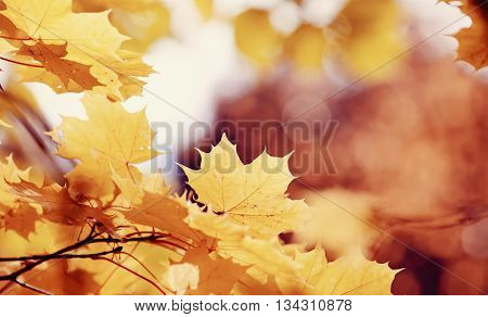 Branch with autumn yellow maple leaves lit with the sun. Golden autumn.