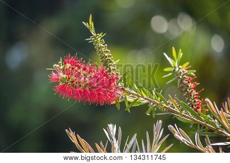 Callistemon viminalis red flower Weeping Bottlebrush, garden.