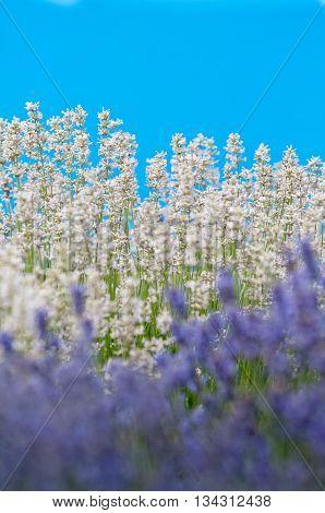 Lavender flower violet Lavender flowers in nature with copy space Lavandula