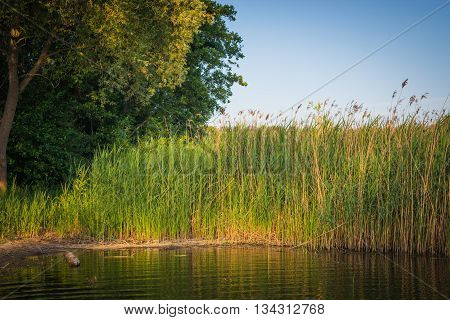 Green reeds, tree close to lake, landscape with the blue sky