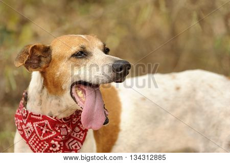 Dog tongue is an oudoor nature dog with his tongue hanging out of his mouth in a natural setting.