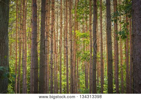 Horizontally growing tree trunks in a forest