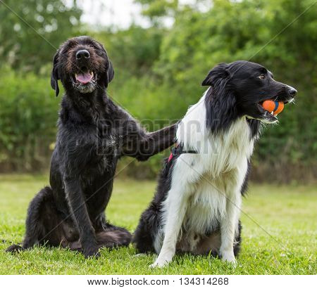 Black dog posing together with border collie on green grass.