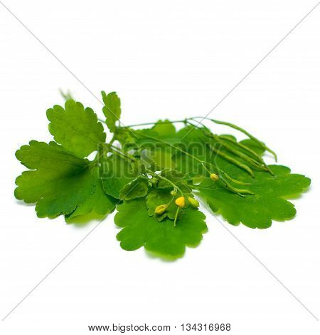 Celandine (Chelidonium majus) herbal medicine - medicinal herbs on white series