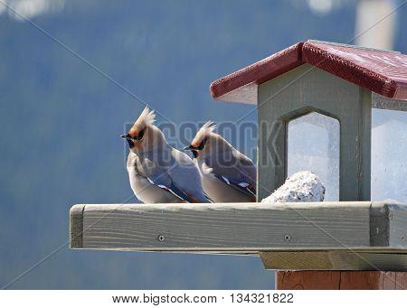 pair of bohemian waxwings resting on backyard feeder