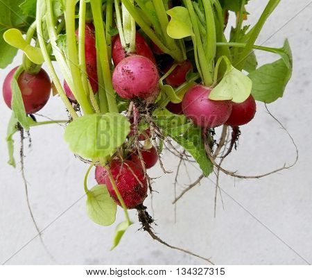 Bunch of fresh picked red radishes from garden